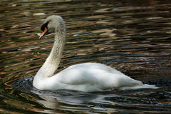 Mute Swan In Lake Royalty Free Stock Photography