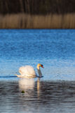 Mute swan on the lake Stock Photography