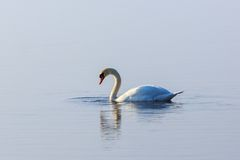 Mute swan in lake. Mute swan with water dripping from its beak stock photography
