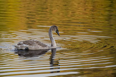 Mute Swan on the lake Royalty Free Stock Photography