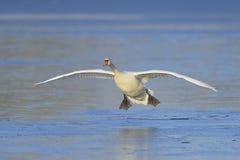 Mute swan landing Stock Image