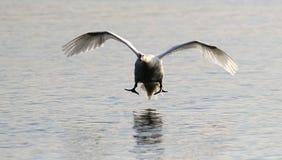 Mute swan landing Stock Photo