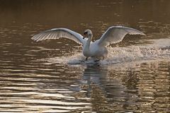 A mute swan landing on the Ornamental Pond, Southampton Common royalty free stock photos