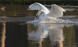 A mute swan landing on the Ornamental Pond, Southampton Common Stock Photography