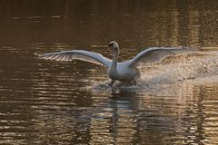 A mute swan landing on the Ornamental Pond, Southampton Common Stock Images