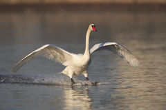 Mute swan landing. On a river stock photos