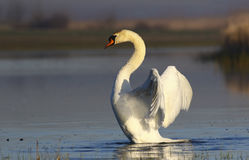 Mute Swan Lands On The Water Royalty Free Stock Photography
