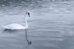 Mute swan landscape Stock Images