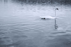 Mute swan landscape Royalty Free Stock Images