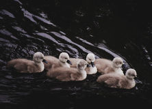 Mute Swan litter Royalty Free Stock Photos