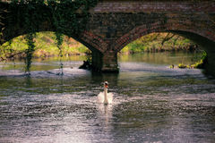 Mute Swan on Little River Ouse Stock Photo