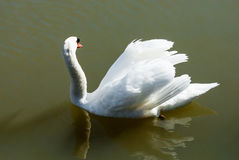 Mute swan looking away floating in green water. Royalty Free Stock Photo