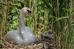 Young parent taking care of the cygnets in the nest stock photography