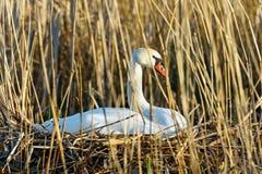 Mute swan lying on nest Stock Photo