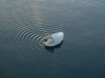 Mute Swan making ripples in water Stock Image