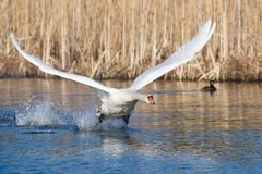 Mute Swan Male. Angry mute Swan male taking off from lake Royalty Free Stock Images