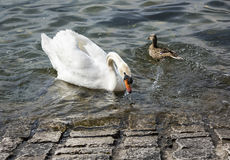 Mute Swan and Mallard Duck on Lake Como, Italy. Swan and duck swimming on Lake Como near the shore of the town of Ravenna, Italy Stock Photography