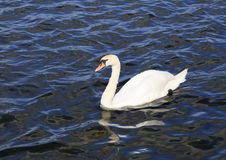 A Mute Swan on the Mere. A lake by the town of ellesmere, Shropshire Royalty Free Stock Images