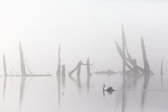 Mute swan in mist Royalty Free Stock Photos