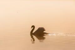 Mute swan in morning mist Stock Photo