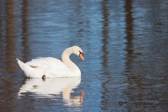 Mute Swan on a Morning Swim stock images