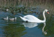 Mute swan mother and new born cygnets Royalty Free Stock Images