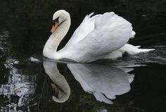 A mute swan royalty free stock photos