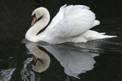 A mute swan stock image
