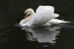 A mute swan. With ruffled feathers on the River Itchen, Southampton, Hampshire, UK Royalty Free Stock Photography