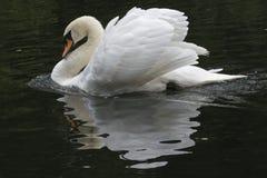 A mute swan stock photo