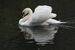 A mute swan stock images