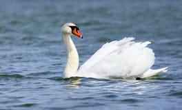 Mute Swan Royalty Free Stock Image