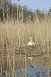 Mute Swan on Nest Royalty Free Stock Photo