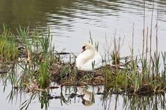 Mute Swan nest Stock Image
