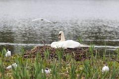 Mute Swan nest Stock Photo