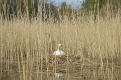 Mute swan on nest Royalty Free Stock Images