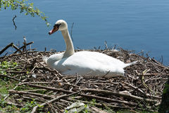 Mute swan on nest with eggs. Stock Photography