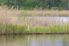 Mute Swan nest Royalty Free Stock Photography