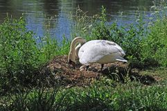 Swan arranging eggs in nest. Mute swan on nest at riverside sorting eggs royalty free stock photography