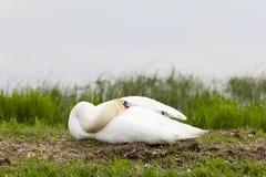 Mute Swan nesting Royalty Free Stock Photos