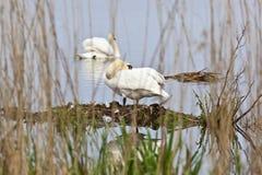Mute Swan nesting Stock Photos