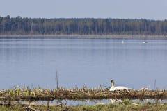 Mute Swan nesting Stock Photo