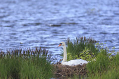 Mute Swan nests Stock Image