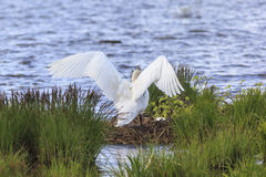 Mute Swan nests Stock Photo