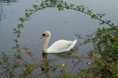 Mute swan nicely framed by arching branch on water Royalty Free Stock Photos