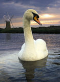 Mute Swan - Norfolk Broads - England Stock Photos