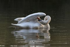 Swan on Southampton Common. A mute swan on the Ornamental Lake on Southampton Common royalty free stock photography