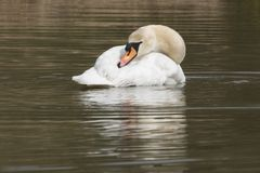 Swan on Southampton Common. A mute swan on the Ornamental Lake on Southampton Common stock photography
