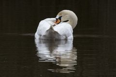 A mute swan on the Ornamental Pond royalty free stock photo