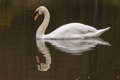A mute swan on the Ornamental Pond royalty free stock photos